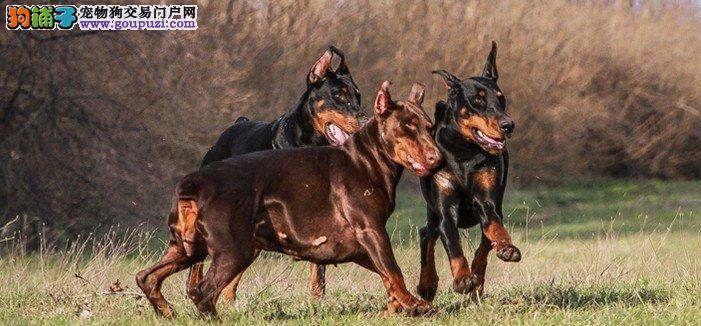 颜色全品相佳的杜宾犬纯种宝宝热卖中欢迎上门选购价格公道