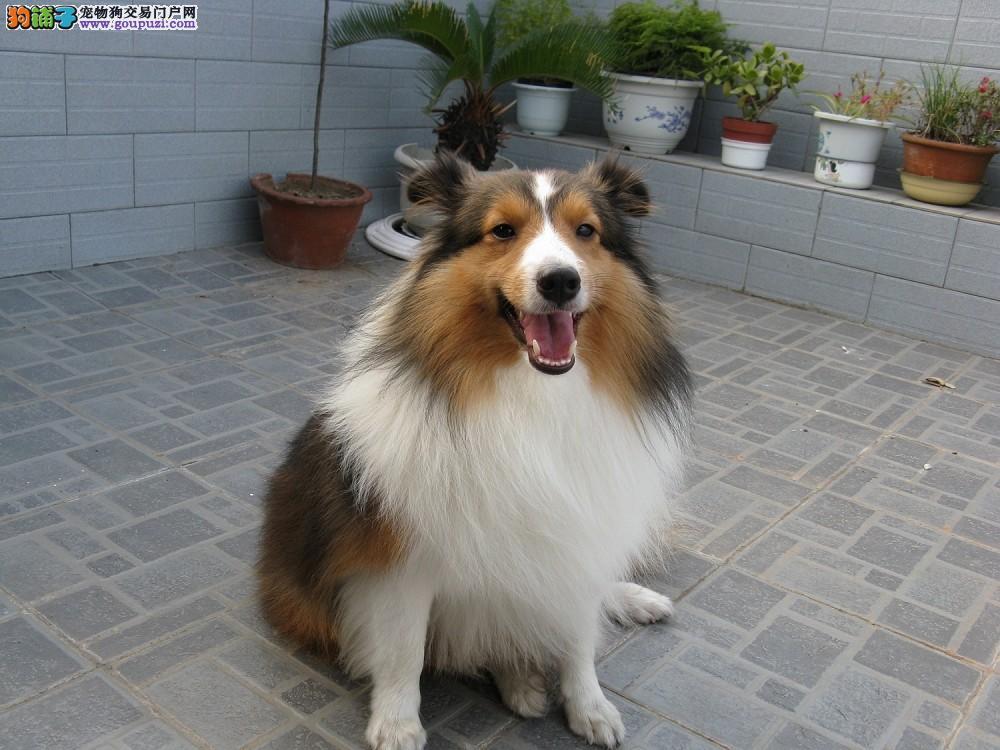 犬舍出售两月龄喜乐蒂牧羊犬/已做疫苗/除虫