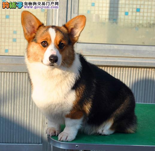 出售自家繁殖柯基犬幼犬 保纯种 忠诚可爱外表敦厚老实