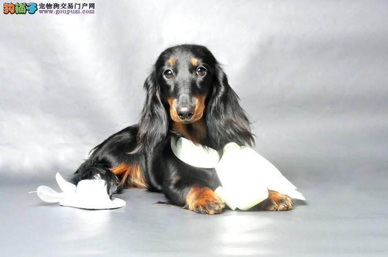 沈阳知名犬舍出售多只赛级腊肠犬包养活包退换4