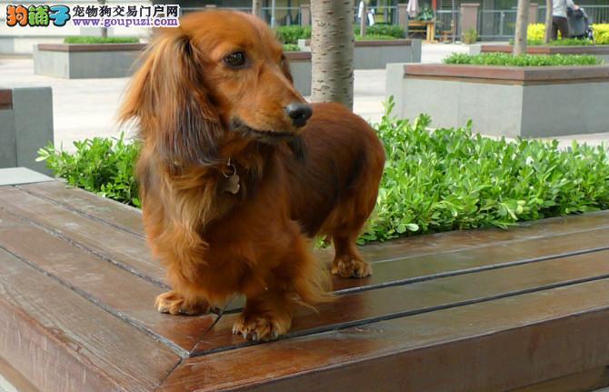 武汉自家狗场繁殖直销腊肠犬幼犬带血统证书签活体协议