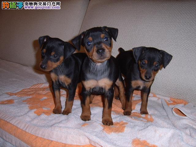 北京纯正德美系杜宾猎犬出售 赛级品质 签订质保协议