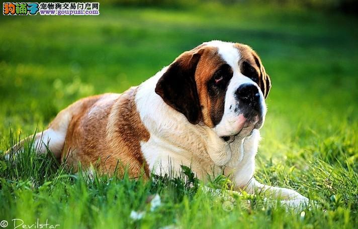 武汉犬舍直销圣伯纳犬幼犬 品相好 疫苗驱虫都已做2