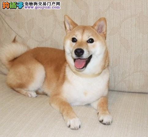 广州售精品日本柴犬签协议保证纯种健康疫苗驱虫做齐