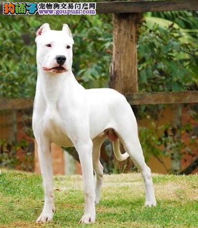杜高犬郑州最大的正规犬舍完美售后优质售后服务