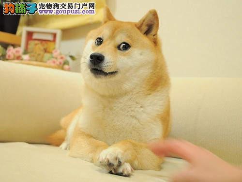 西城帅气可爱柴犬日系柴犬成犬幼犬健康纯种出售