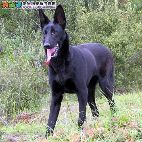 出售昆明犬公母都有品质一流诚信经营三包终身协议4
