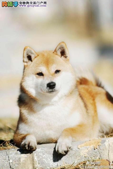 正宗柴犬幼犬一只多少钱 合肥柴犬哪里买比较好