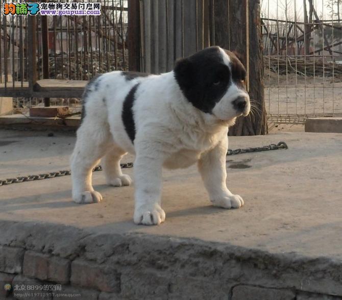 最大的中亚牧羊犬基地 完美售后优质售后服务