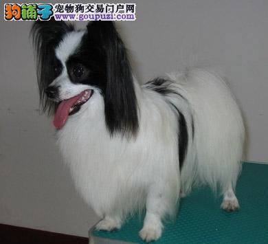 出售纯种蝴蝶犬幼犬有黄白花的和黑白花的