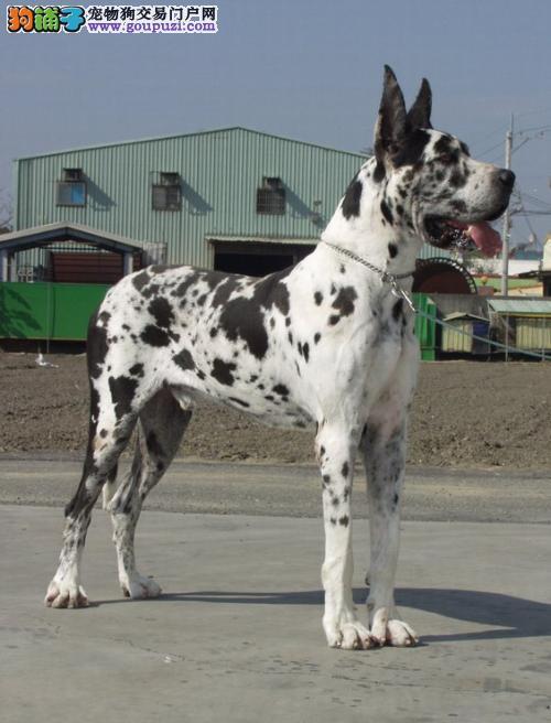 大丹犬西安最大的正规犬舍完美售后欢迎爱狗人士上门选购3