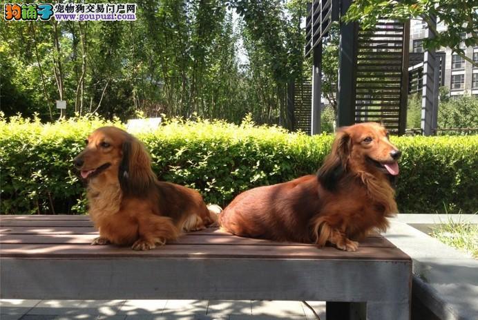 纯种腊肠犬宝宝南昌地区找主人签署质保合同3