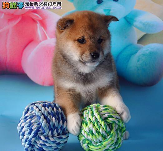 吐鲁番售双赛级血统犬后代纯种精品日本柴犬 健康有保障
