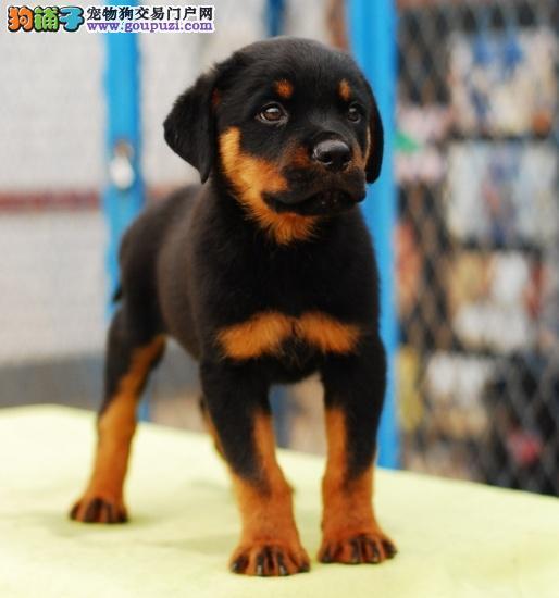 绵阳罗威纳犬优惠出售 签订售后协议 周末上门八折