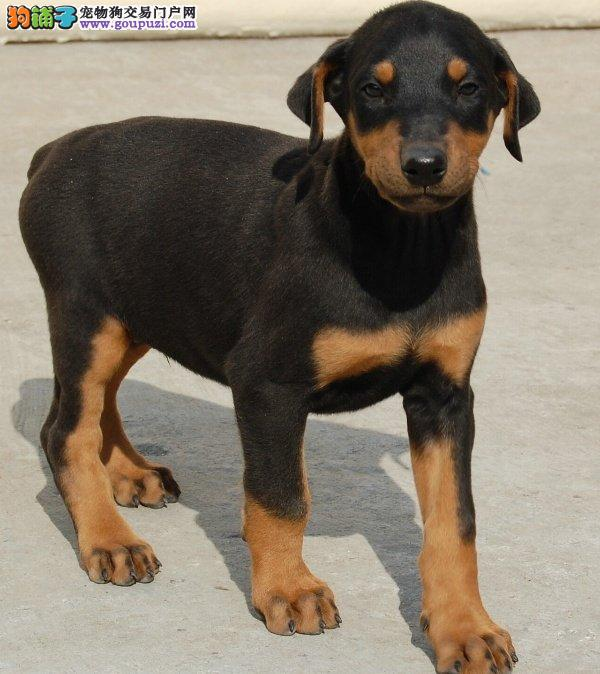 珠海哪里有卖黑色杜宾犬 红色杜宾犬2