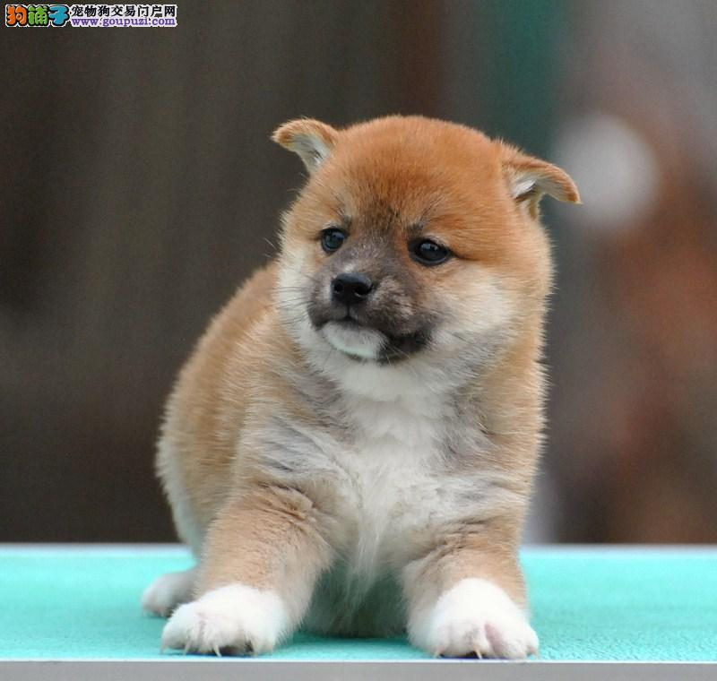合肥纯种日本柴犬 可爱的小精灵 城市家庭伴侣犬