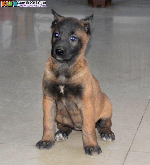 太原出售赛级马犬幼犬纯正血统比利时马犬健康活泼忠诚