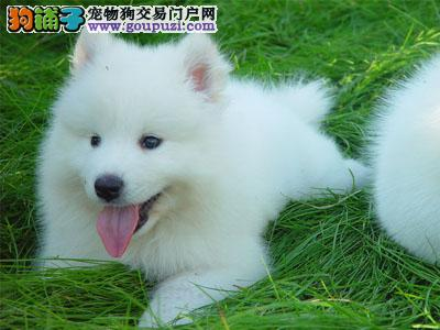 南昌转让微笑天使萨摩耶多窝多只可选白色无杂毛可看
