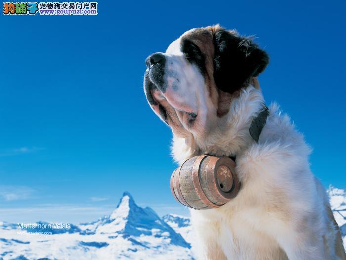 出售纯种圣伯纳幼犬大骨架高大威猛十分帅气