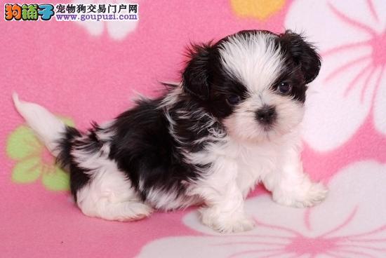 郑州最大犬舍出售多种颜色西施犬全国十佳犬舍