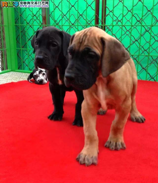 家养大丹犬出售、可办理血统证书、购犬可签协议
