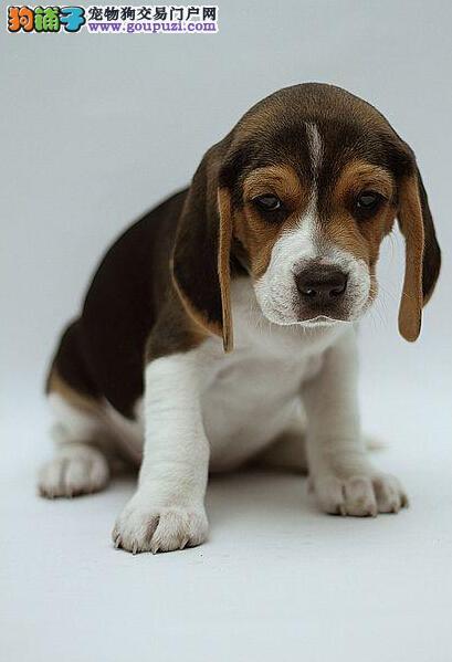 双血统赛级比格犬出售 特惠品质三包出售 有血统证书