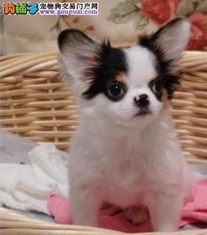 蝴蝶犬幼犬出售 活泼机灵 质保协议 疫苗驱虫齐全