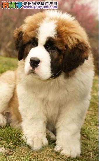 郑州市出售圣伯纳犬 可视频看狗 已打疫苗 终身保障