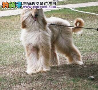 养殖场直销完美品相的阿富汗猎犬CKU认证品质绝对保障