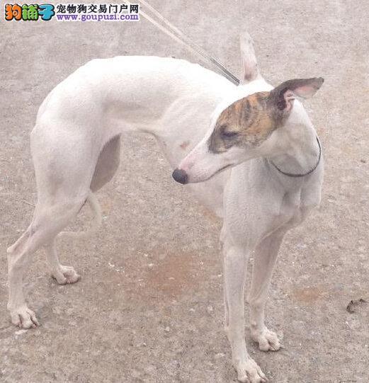 格力犬武汉CKU认证犬舍自繁自销赛级品质血统保障