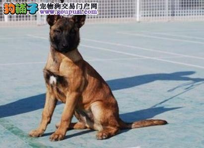 CKU犬舍认证武汉出售纯种马犬外地可空运已驱虫2