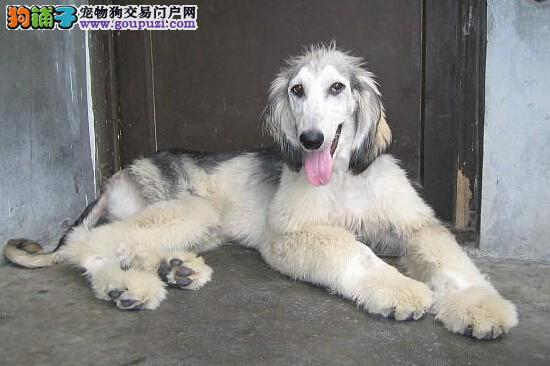 实物拍摄的南京阿富汗猎犬找新主人终身售后协议