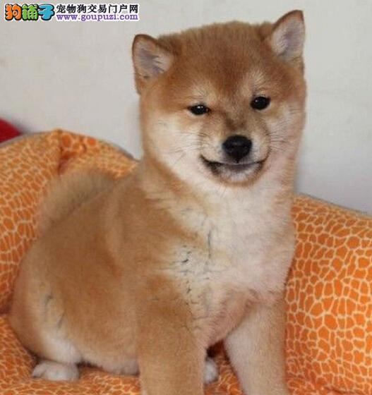 柴犬吃什么食物有利于美毛