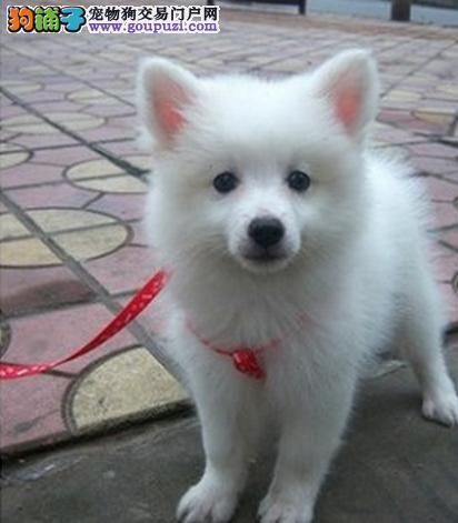 选购银狐犬有哪些具体的意见与建议