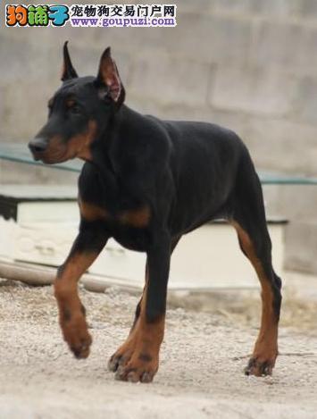 出售纯种德系杜宾犬 公母幼犬 血统纯正骨骼大送货
