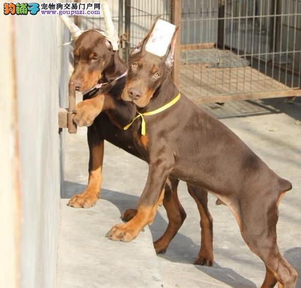 专业正规犬舍热卖优秀的石家庄杜宾犬签协议上门选