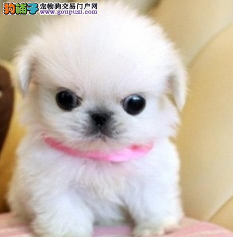 纯种京巴幼犬 签协议保健康数量多颜色齐全可送货上门