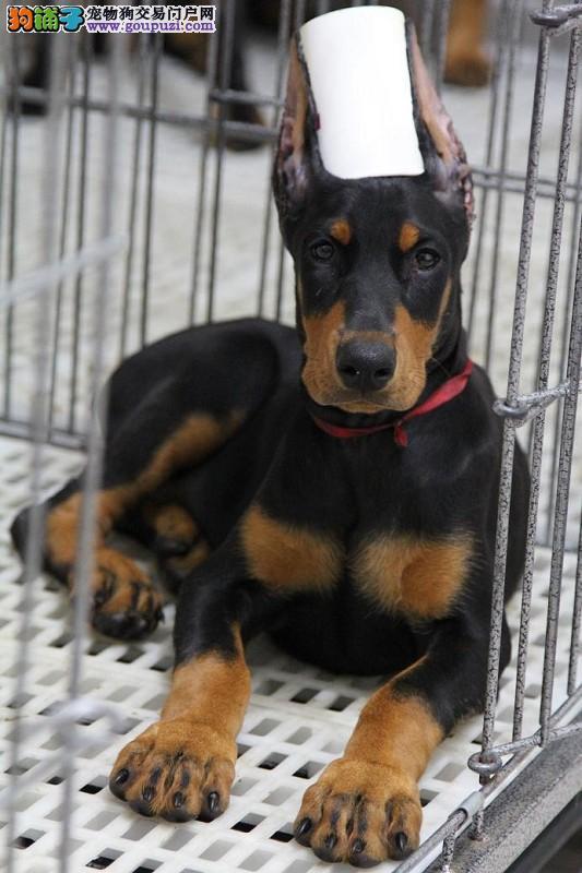 宜宾高品质德系杜宾犬幼犬出售 头版正骨量大色素深