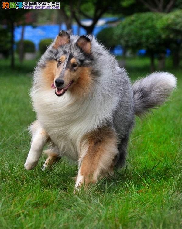 认证犬舍出售纯血统高品质苏牧幼犬 身体健康纯种