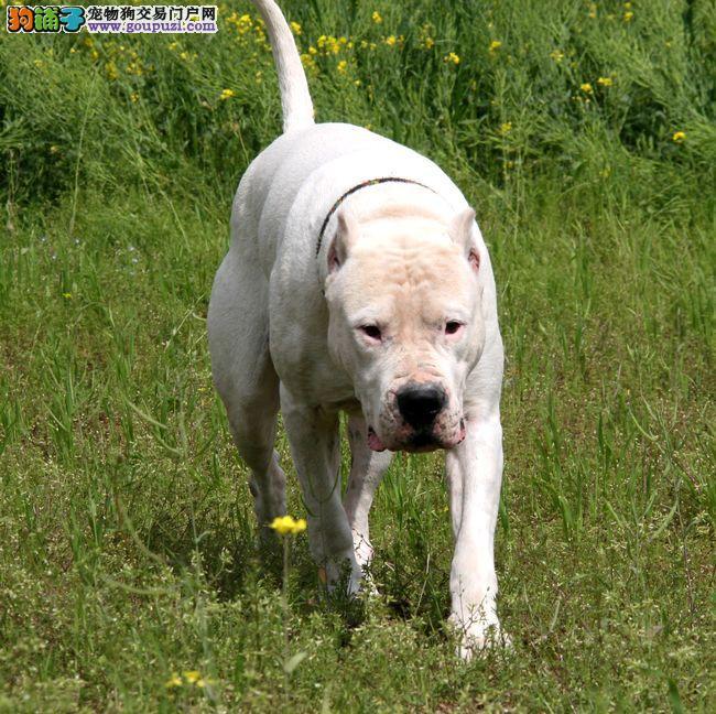 犬舍直销品种纯正健康郑州杜高犬品质优良诚信为本