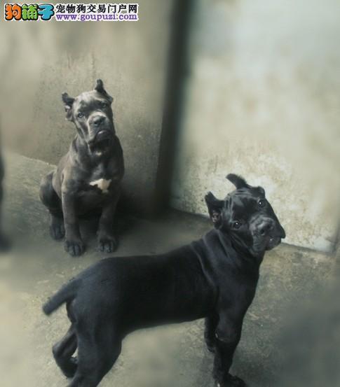 犬类的战神 卡斯罗保证健康纯种