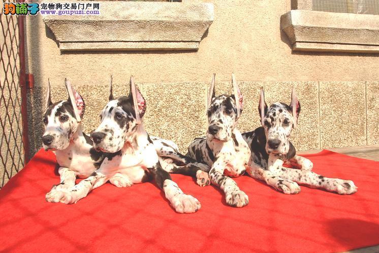 杭州自家狗场繁殖直销大丹犬幼犬真实照片视频挑选3