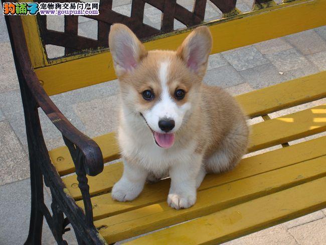 聪明可爱的柯基幼犬出售