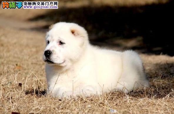 极品纯正的中亚牧羊犬幼犬热销中假一赔万签活体协议