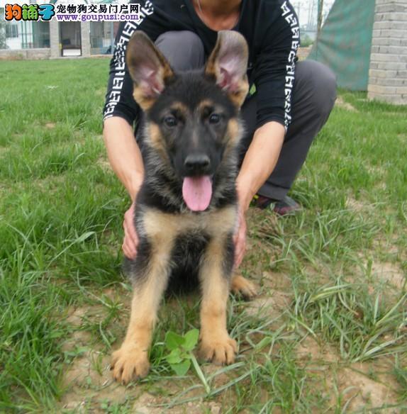专业正规犬舍热卖优秀西安狼狗赠送全套宠物用品