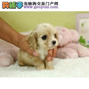 宁波出售赛级纯种可卡犬健康品质终身质保可送狗上门