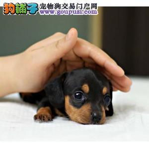 出售纯种活泼、勇敢狩猎腊肠犬多只可选 健康保障