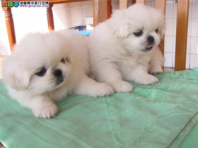 上海纯血统京巴狗幼犬疫苗做齐纯种健康基地出售高品质