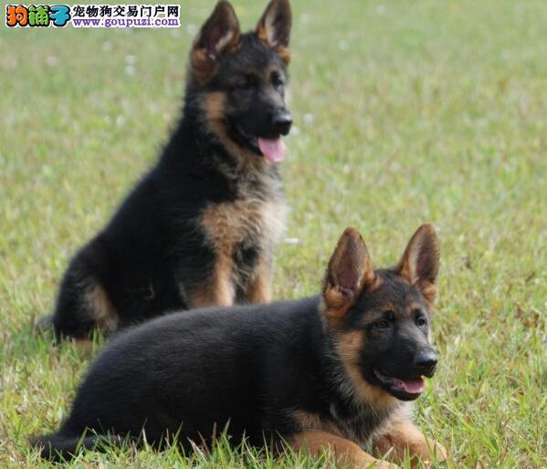 高端狼狗热销、品相血统一级棒、购犬可签协议