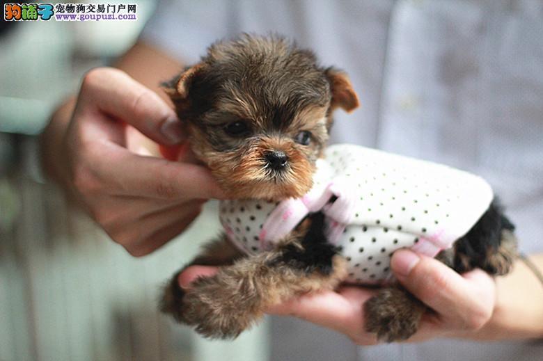 纯种宠物狗约克夏幼犬出售 高颜值小巧可爱 品相好包健康